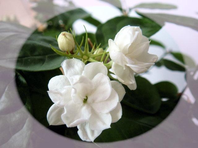 茉莉花 (Mòlìhuā) Jasmine Flower